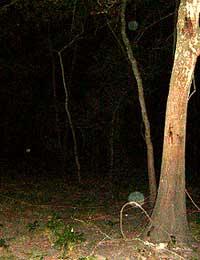 Tree with orbs, at Bear Creek Park, Houston, TX